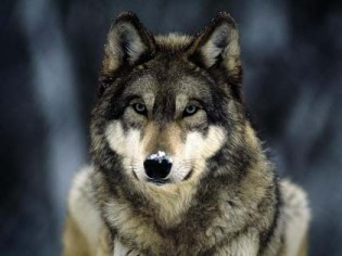 wolf_snow_nose