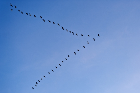 husi2-snow-geese-in-formation